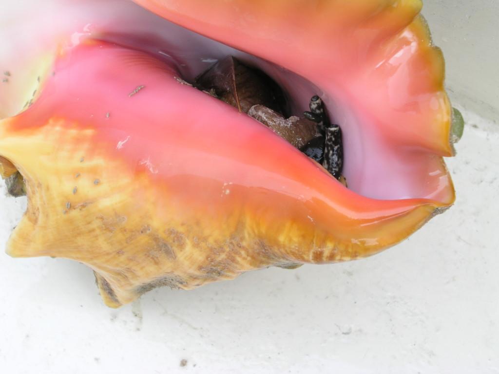 conch peeking from shell