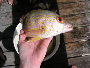 yellow tail snapper hand line fishing