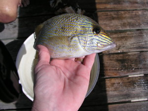 striped bahamas grunt hand line fishing